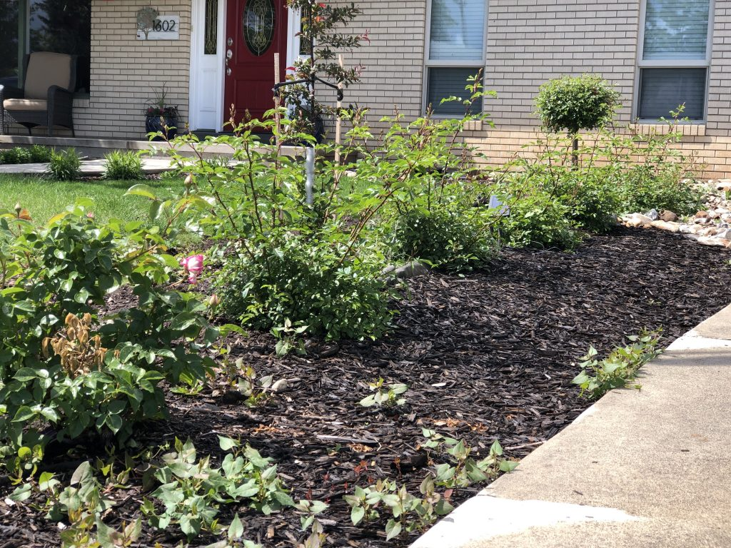 Replaced the row of Pyracantha with rose bushes along the RV driveway.